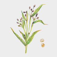 Fermented coix seed extract